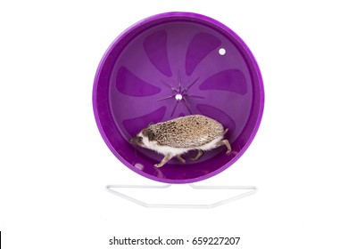 A hedgehog running on an exercise wheel, on an isolated white background