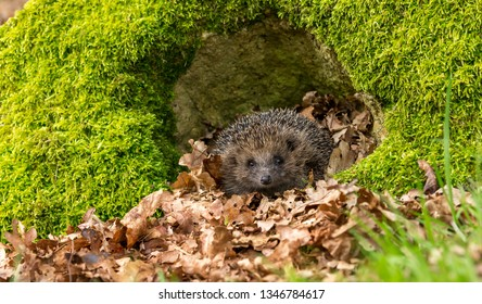 Hedgehog (Scientific name: Erinaceus Europaeus). Wild, native, European hedgehog in natural woodland habitat with green moss and blurred background. Horizontal.