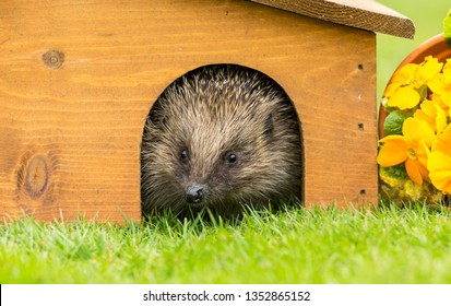 Hedgehog, (Scientific name: Erinaceus Europaeus) wild, native, European hedgehog emerging from hedgehog house in Spring time.  Space for Copy.  Facing to the front. Landscape, horizontal.