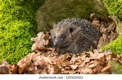 Hedgehog, (Scientific name: Erinaceus Europaeus) wild, native, European hedgehog emerging from hibernation in Spring time. with green moss and Autumn leaves. Space for Copy.  Facing left. Horizontal