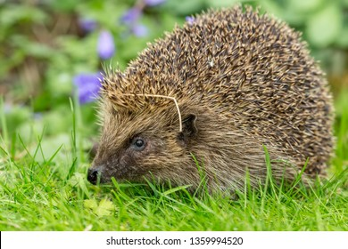 Hedgehog, (Scientific name: Erinaceus Europaeus) wild, native, European hedgehog emerging from hibernation in Spring time with purple flowers in background. Space for Copy.  Facing left. Horizontal