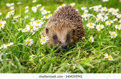 Hedgehog, (Scientific name: Erinaceus Europaeus) wild, native, European hedgehog in natural garden habitat with green grass and white daisies.  Landscape. Horizontal. Space for copy.