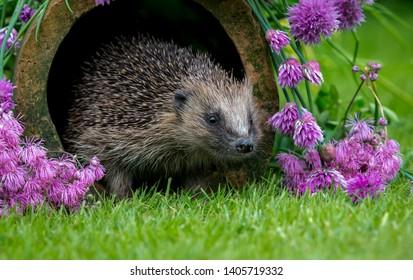 Hedgehog, (Scientific name: Erinaceus Europaeus) wild, native, European hedgehog in natural garden habitat with  flowering purple chives.  Facing right.  Close up. Horizontal. Space for copy.