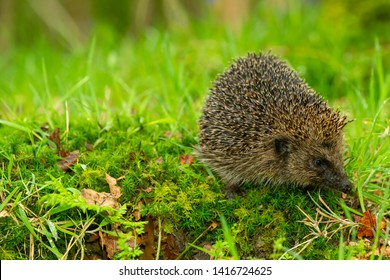 Hedgehog, (Scientific name: Erinaceus Europaeus) wild, native, European hedgehog in natural woodland habitat with green moss and grasses.  Close up. Horizontal. Space for copy.