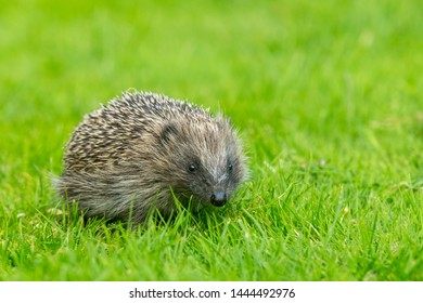 Hedgehog, (Scientific name: Erinaceus Europaeus) Young hoglet, a wild, native, European hedgehog in natural garden habitat on green grass lawn, Facing right.  Close up. Horizontal. Space for copy.