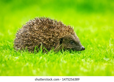 Hedgehog, (Scientific name:  Erinaceus europaeus) Wild, native, European hedgehog  in natural garden habitat with green grass lawn.  Facing right. Clean, green background. Horizontal. Space for copy.