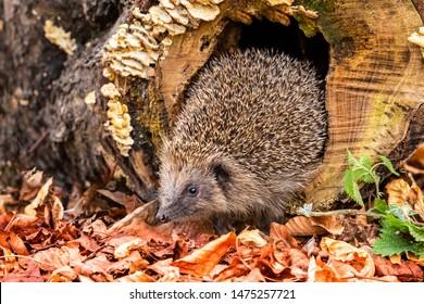 Hedgehog, (Scientific name:  Erinaceus europaeus) Wild, native, European hedgehog  in natural woodland habitat with golden beech leaves and fungi.  Autumn scene.Facing left. Horizontal. Space for copy