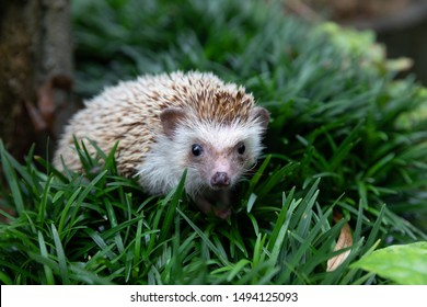 Hedgehog, (Nom scientifique: Erinaceus europaeus) Hérisson européen dans l'habitat naturel du jardin avec herbe verte.