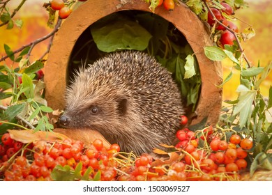 Hedgehog, (Scientific name: Erinaceus europaeus) Native, wild hedgehog in Autumn with red berries and Rosehips.  Facing left inside a terracotta pipe.  Horizontal, landscape.  Space for copy.