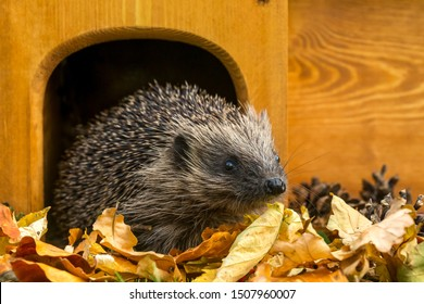 Hedgehog, (Scientific name: Erinaceus europaeus) Native, wild European hedgehog in Autumn with golden leaves leaving a hedgehog house. Facing right. Close up.  Horizontal, landscape.  Space for copy.