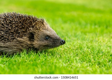 Hedgehog, (Scientific name: Erinaceus europaeus) simple image of a native, wild, European hedgehog on green grass lawn. Facing right. Close up.  Horizontal, landscape.  Space for copy.