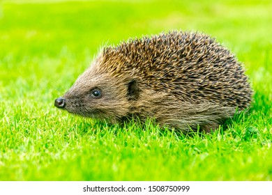 Hedgehog, (Scientific name: Erinaceus europaeus) simple image of a native, wild, European hedgehog on green grass lawn. Facing left. Close up.  Horizontal, landscape.  Space for copy.