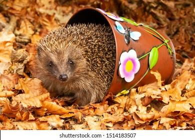 Hedgehog, (Scientific name: Erinaceus europaeus) Native, wild European hedgehog Facing forward, leaving colourful plant pot in golden Autumn leaves. Head raised. Close up.  Horizontal. Space for copy.