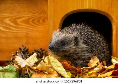 Hedgehog, (Scientific name: Erinaceus europaeus) Native, wild European hedgehog Facing left, leaving hedgehog house in golden Autumn leaves. Head raised. Close up.  Horizontal.  Space for copy.