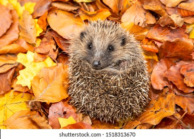 Hedgehog (Scientific name: Erinaceus europaeus) Native, wild European hedgehog curled into a ball, preparing for hibernation. Facing forward in colourful Autumn leaves. Horizontal. Space for copy