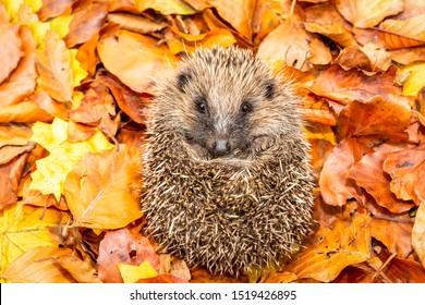 Hedgehog (Scientific name: Erinaceus europaeus) Native, wild European hedgehog curled into a ball, preparing for hibernation. Facing forward in colourful Autumn leaves.  Horizontal. Space for copy.