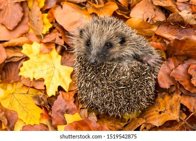 Hedgehog, (Scientific name: Erinaceus europaeus) Native, wild European hedgehog curled into a ball. Facing forward in colourful Autumn or Fall leaves.  Close up.  Horizontal. Space for copy.