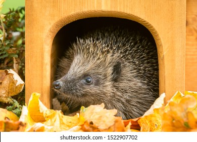 Hedgehog, (Scientific name: Erinaceus europaeus) Native, wild European hedgehog peeping out of his house with colourful Autumn or Fall leaves.  Close up.  Horizontal. Space for copy.
