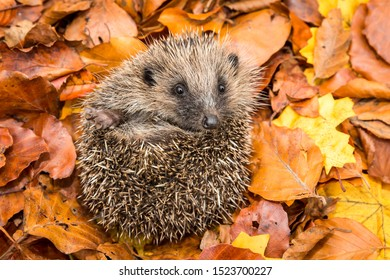 Hedgehog, (Scientific name: Erinaceus europaeus) Native, wild European hedgehog curled into a ball in colourful Autumn or Fall leaves.  Close up.  Horizontal. Space for copy.