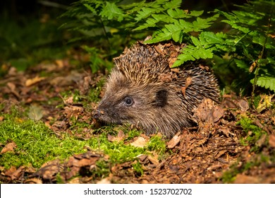 Hedgehog, (Scientific name: Erinaceus europaeus) Native, wild European hedgehog in natural woodland setting with green ferns and moss at dusk. Close up.  Horizontal. Space for copy.