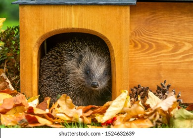 Hedgehog, (Scientific name: Erinaceus europaeus) Native, wild European hedgehog in Autumn.  Facing forward in hedgehog house, preparing for hibernation. Head raised. Horizontal, Space for copy