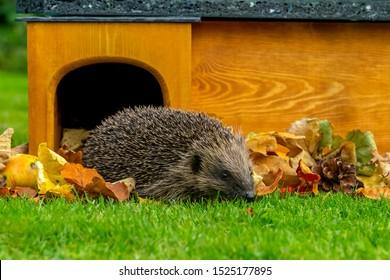 Hedgehog, (Scientific name: Erinaceus europaeus) Native, wild European hedgehog Facing right leaving hedgehog house, preparing for hibernation. Head down. Close up.  Horizontal.  Space for copy.