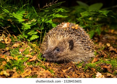 Hedgehog, (Scientific name: Erinaceus europaeus) Native, wild hedgehog in Autumn with green ferns, moss and colourful Autumn leaves. Facing left. Horizontal, landscape.  Space for copy.