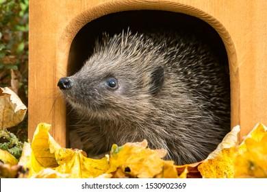 Hedgehog, (Scientific name: Erinaceus europaeus) Native, wild European hedgehog in Autumn. Facing left leaving hedgehog house, preparing for hibernation. Head raised. Close up.  Horizontal. Copyspace