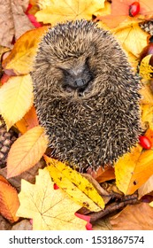 Hedgehog, (Scientific name: Erinaceus europaeus). Native, wild hedgehog  curled into a ball in Autumn with colourful Autumn leaves, red berries and rosehips. Facing forward. Vertical.   Space for copy