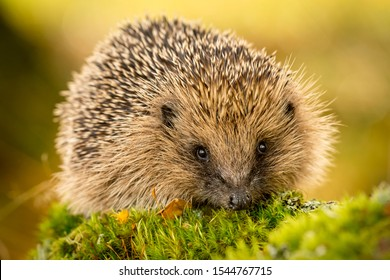 Hedgehog (Scientific name: Erinaceus Europaeus) Wild, native, European hedgehog looking to the front on green moss.  Blurred background.  Horizontal, landscape.  Space for copy.