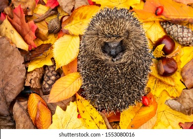 Hedgehog, (Scientific name: Erinaceus Europaeus) wild, native, European hedgehog asleep in colourful Autumn leaves, surrounded with pine cones, rosehips and chestnuts.  Horizontal.  Space for copy
