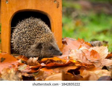 Hedgehog (Scientific name: Erinaceus Europaeus) Wild, native, European hedgehog in Autumn emerging from a hedgehog house with colourful Autumn leaves.  Facing right. Horizontal.  Space for copy.
