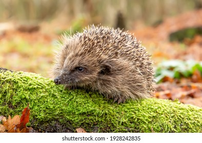 Hedgehog, Scientific name: Erinaceus Europaeus.  Wild, native, European hedgehog in winter, facing left on green moss covered log.  Blurred background. Horizontal.  Space for copy.