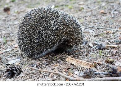 Hedgehog (scientific name: Erinaceus europaeus) A wild native European hedgehog in its natural forest habitat. High quality photo