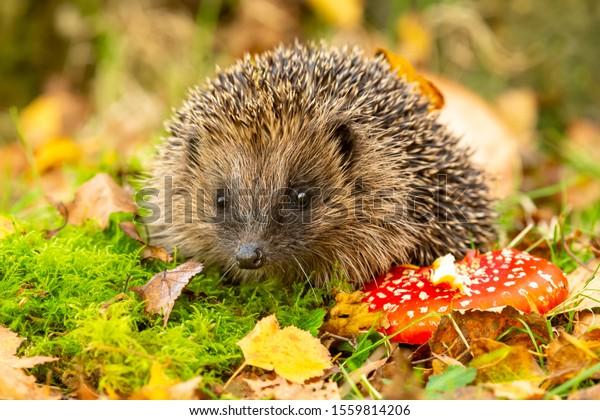 Hedgehog, (Nom scientifique: Erinaceus Europaeus), un hérisson sauvage, natif, européen, avec un tabouret rouge d'Agaric et une mousse verte.  Faire face à l'avenir.  Automne ou automne. Gros plan. Horizontal. Espace pour la copie.