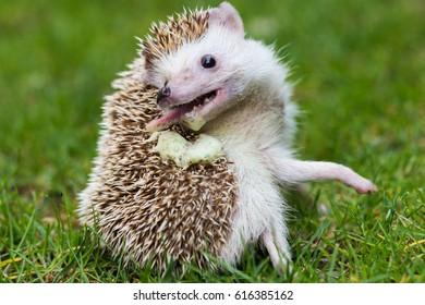 hedgehog self anointing
