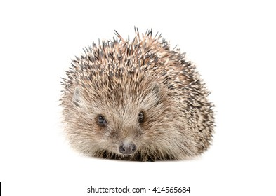 Hedgehog sitting isolated on white background
