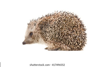 Hedgehog sitting isolated on white background, side view