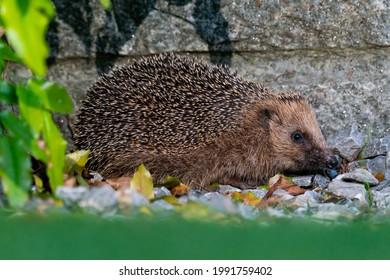 A hedge-hog sitting in a swiss garden.