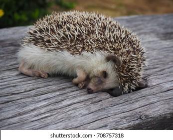 Hedgehog sleep on the sticks