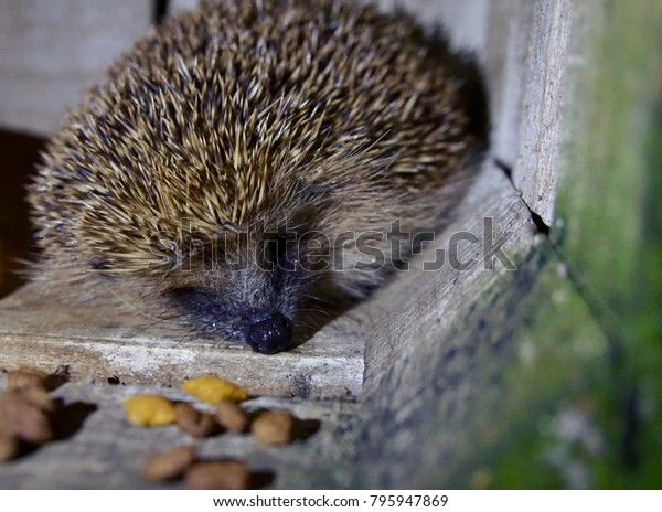 Hedgehog sleeping outside in a crate in the garden