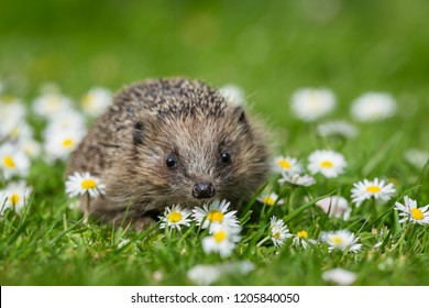 Hedgehog, small, cute, native, wild hedgehog in natural garden habitat with green grass and white and yellow daisies.  Scientific name: Erinaceus europaeus.  Horizontal. Daytime.