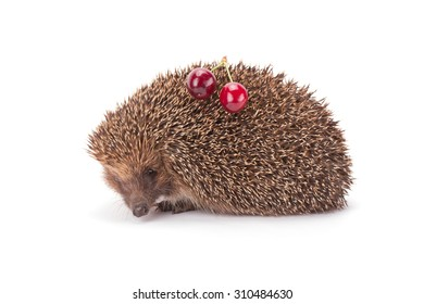hedgehog and a sprig of cherry isolated on white background