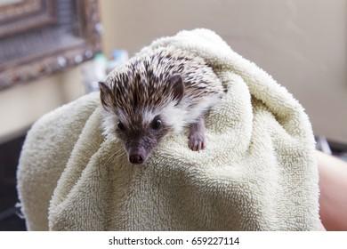 A hedgehog taking a bath getting dried off with a towel