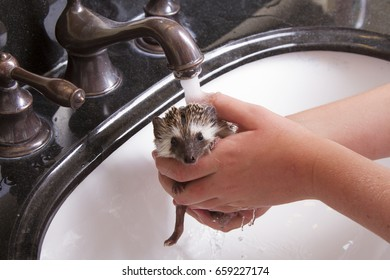 A hedgehog taking a bath, getting rinsed off in a sink by a young girl.