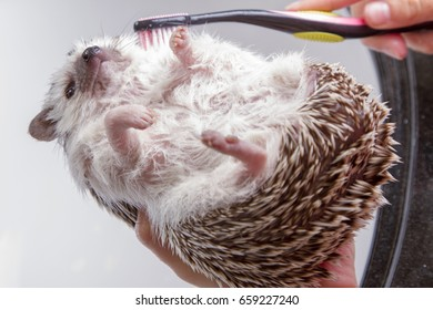 A hedgehog taking a bath, getting scrubbed with a toothbrush