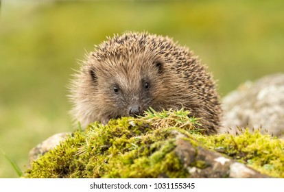 Hedgehog, UK, native, European hedgehog on green moss