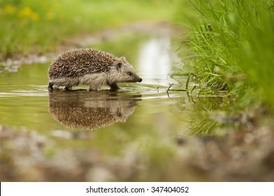 Hedgehog and the water
