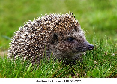 Hedgehog, wild animal with cute nose close up. Native European adult little hedgehog in green grass. Macro spines & needles, ear, eye adorable hedgehog baby portrait in forest. Wildlife nature concept