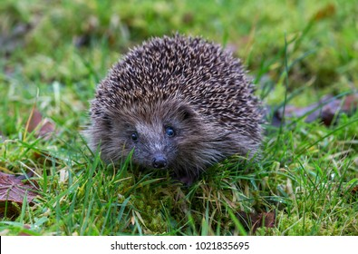 Hedgehog, wild, native European adult hedgehog in wet green grass, facing forwards. Snout and both eyes showing